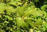 Acanthopanax Blatt gruen Eleutherococcus setchuenensis 01
