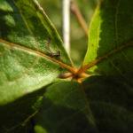 Acanthopanax Blatt gruen Eleutherococcus setchuenensis 03