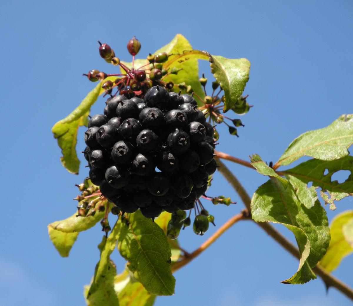 Acanthopanax Frucht dunkelblau Eleutherococcus setchuenensis