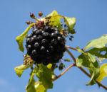 Acanthopanax Frucht dunkelblau Eleutherococcus setchuenensis 01