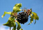 Acanthopanax Frucht dunkelblau Eleutherococcus setchuenensis 02
