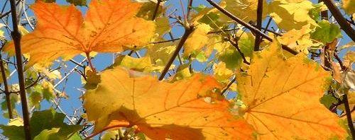 Anklicken um das ganze Bild zu sehen  Ahorn Blatt gelb grün Acer platanoides