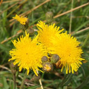 Acker Gaensedistel Bluete gelb Sonchus arvensis 01