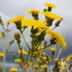 Acker Gaensedistel Bluete gelb Sonchus arvensis 05