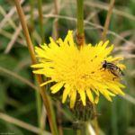 Acker Gaensedistel Bluete gelb Sonchus arvensis 06 3