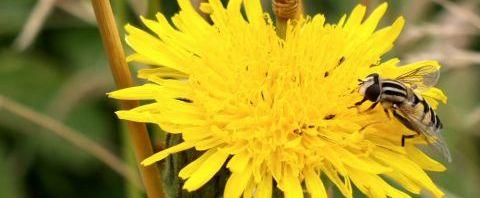 Anklicken um das ganze Bild zu sehen  Acker-Gänsedistel Blüte gelb Sonchus arvensis