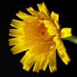 Acker Gaensedistel Bluete gelb Sonchus arvensis21