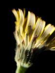 Bild:  Acker-Gänsedistel Blüte gelb Sonchus arvensis
