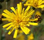 Acker Gaensedistel Kraut Bluete gelb Sonchus arvensis 21