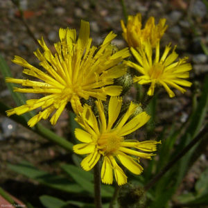 Acker Gaensedistel Sonchus arvensis 02
