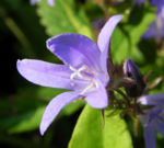 Acker Glockenblume Bluete lila Campanula rapunculoides 02