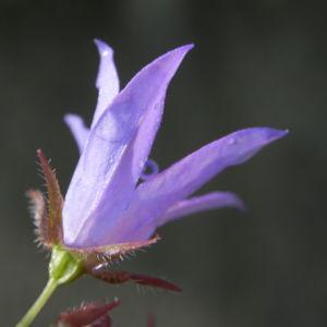 Acker Glockenblume Bluete lila Campanula rapunculoides 05