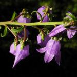 Acker Glockenblume Bluete lila Campanula rapunculoides 06