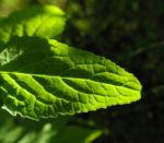 Acker Glockenblume Blatt grün Campanula rapunculoides 08