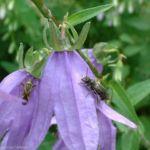 Acker Glockenblume Campanula rapunculoides 02 3