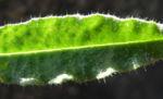 Acker Krummhals Blatt gruen Anchusa arvensis 09
