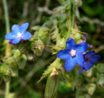 Acker Krummhals Bluete blau Anchusa arvensis 01 1