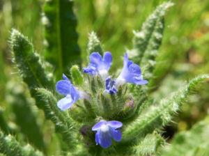 Acker Krummhals Bluete blau Anchusa arvensis 05
