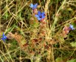 Acker Krummhals Bluete blau Anchusa arvensis 07 3