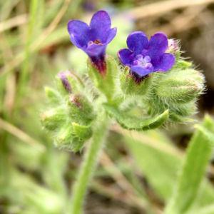 Acker Krummhals Bluete blau Anchusa arvensis 08