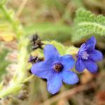 Acker Krummhals Bluete blau Anchusa arvensis 09 1