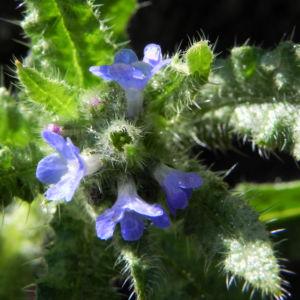 Acker Krummhals Bluete blau Anchusa arvensis 20