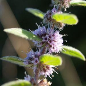 Acker Minze Bluete hellrosa Mentha arvensis 02 3
