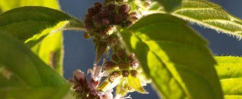 Anklicken um das ganze Bild zu sehen  Ackerminze Blüte hellrosa Mentha arvensis