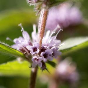 Acker Minze Bluete hellrosa Mentha arvensis 13