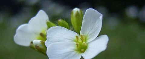 Anklicken um das ganze Bild zu sehen  Acker-Rettich Blüte weiß Raphanus raphanistrum