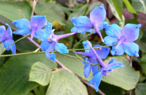 Acker Rittersporn Bluete hellblau Consolida regalis 01