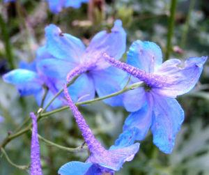Acker Rittersporn Bluete hellblau Consolida regalis 03