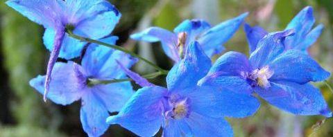 Anklicken um das ganze Bild zu sehen  Acker-Rittersporn Blüte hellblau Consolida regalis
