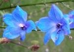 Acker Rittersporn Bluete hellblau Consolida regalis 07