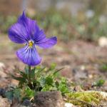 Acker Stiefmuetterchen Bluete blau Viola arvensis 04