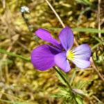 Acker Stiefmuetterchen Bluete violett Viola arvensis 01