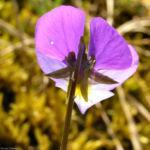 Acker Stiefmuetterchen Bluete violett Viola arvensis 03