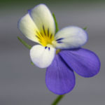Acker Stiefmuetterchen Bluete violett Viola tricolor 03