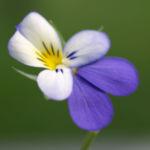 Acker Stiefmuetterchen Bluete violett Viola tricolor 04