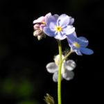 Acker Vergissmeinnicht Bluete hellblau Myosotis arvensis 02