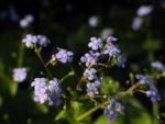 Acker Vergissmeinnicht Bluete hellblau Myosotis arvensis 03