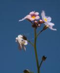Acker Vergissmeinnicht Bluete hellblau Myosotis arvensis 04