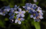 Acker Vergissmeinnicht Bluete hellblau Myosotis arvensis 05