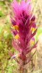 Acker Wachtelweizen Bluete rot gelb Melampyrum arvense 02