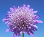 Acker Witwenblume Bluete lila Knautia arvensis 04