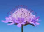 Acker Witwenblume Bluete lila Knautia arvensis 05