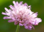 Acker Witwenblume Kraut Bluete rose Knautia arvensis 04