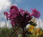Aehren Laeusekraut Bluete pink Pedicularis rostratospicata 05