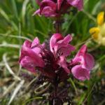Aehren Laeusekraut Bluete pink Pedicularis rostratospicata 08