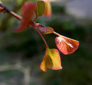 Afghanischer Judasbaum Blatt Cercis griffithii 01